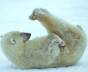 Isbjörn på rygg. Här kommer det klimatskämt.